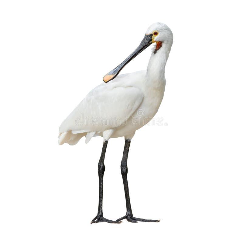 Eurazjatycki spoonbill odizolowywający na białym tle folował długość Eurazjatycki spoonbill lub pospolity spoonbill jesteśmy brod zdjęcia stock