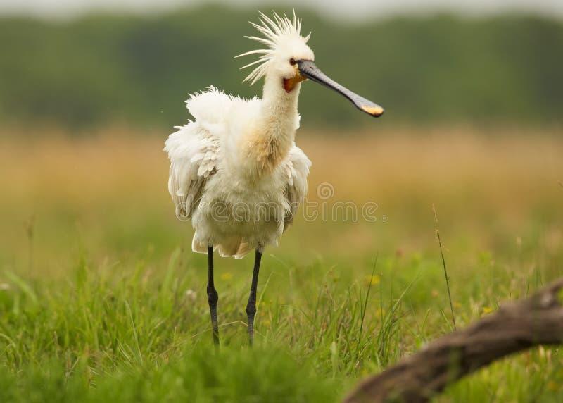 Eurazjatycki Spoonbill, rzadka biała ptasia pozycja w łące zdjęcia royalty free