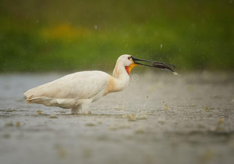 Eurazjatycki Spoonbill, rzadkiego whaite ptasi połów w deszczu zdjęcie royalty free