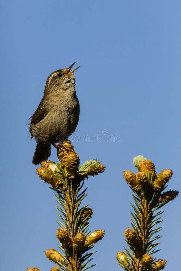 Eurazjatycki strzyżyk, troglodytów troglodyci śpiewać/ obrazy stock