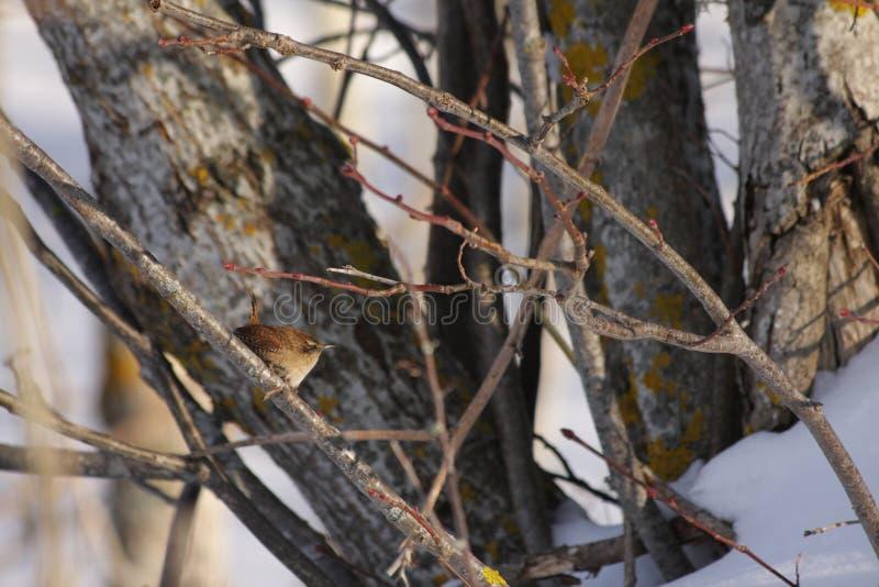 Eurazjatycki strzyżyk umieszczający na gałąź zdjęcia royalty free
