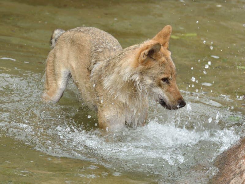 Eurazjatycki wilczy Canis lupus lupus zabawy kąpanie w stawie zdjęcie stock