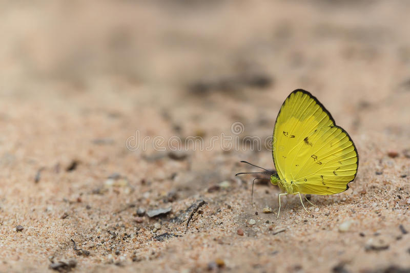Download Eurema Smilax, Small Grass Yellow Butterfly On Brown Soil Stock Image - Image: 95517435