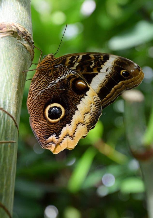 Eurilochus di Caligo, farfalla gigante del gufo della foresta fotografie stock