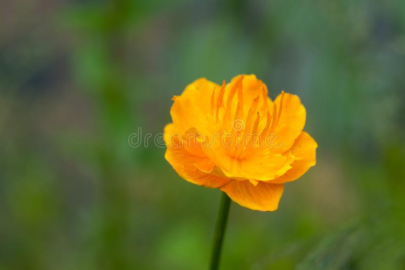 Euro-Asian Trollius. A European troll flower is portrayed on a blurred meadow background stock image