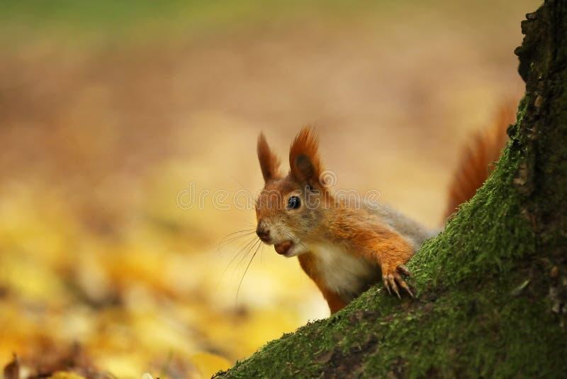 Euroasian-Eichhörnchen - der Sciurus gemein - schauen Sie von hinten den Baum lizenzfreie stockbilder