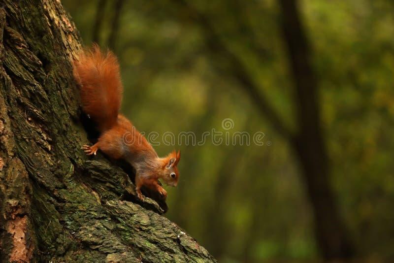Euroasian rode eekhoorn - vulgaris Sciurus - op de boom royalty-vrije stock foto's
