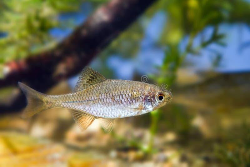 Europäisches Bitterling, Rhodeus-amarus, kleiner wilder Erwachsener Mannesfrischwasserfisch im typischen mäßigen Wasserbiotopaqua lizenzfreie stockfotos