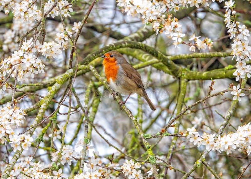 Europäer Robin - Erithacus rubecula singend und durch Schlehdorn-Blüte umgeben lizenzfreies stockfoto