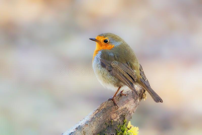 Europäer Robin - Erithacus rubecula, Worcestershire, England lizenzfreies stockfoto