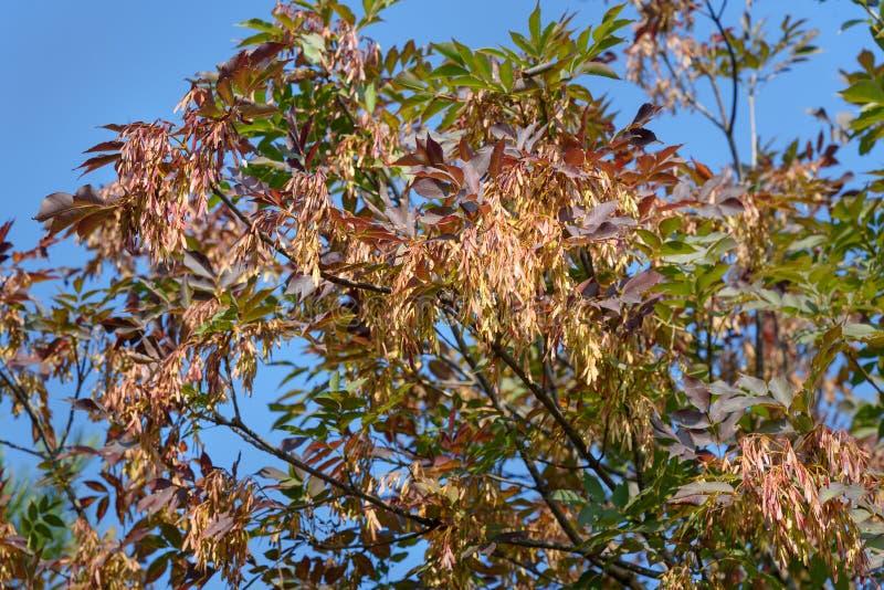 Europäische Asche oder Fraxinushobelspäne mit Samen im Herbst lizenzfreie stockbilder