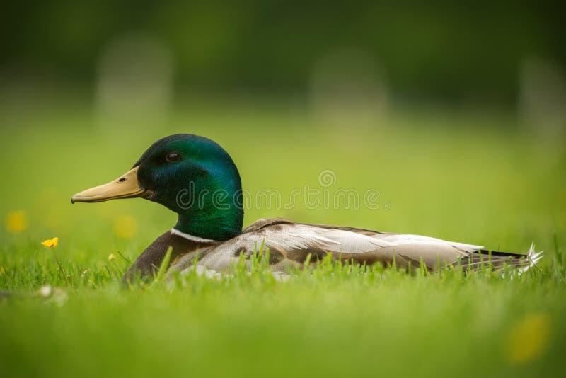 Europäische Ente auf einem Gras stockfotos