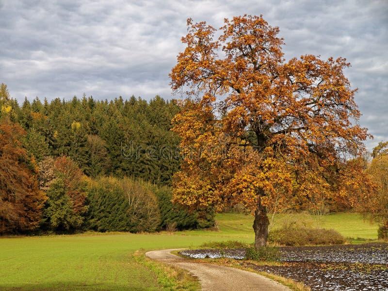 Europäische Esche in der herbstlichen Landschaft mit Spur lizenzfreie stockfotos