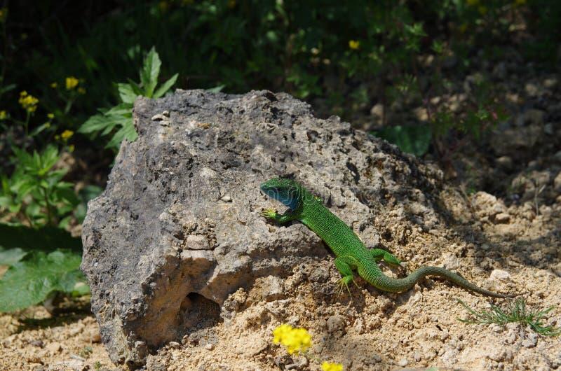 Europäische grüne Eidechse Lacerta viridis stockfoto