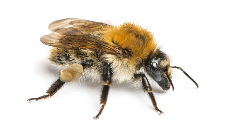 Europäische Honigbiene, API mellifera, lokalisiert lizenzfreies stockbild