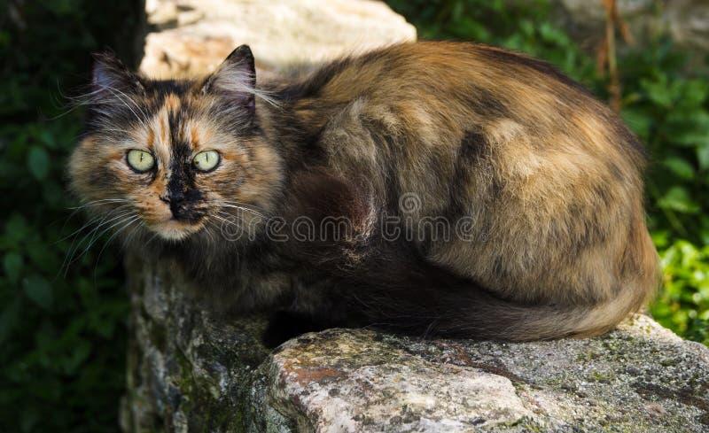 Europäische Katze mit schönen Augen stockbild