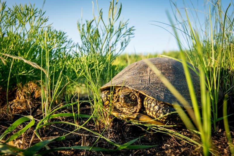 Europäische Sumpfschildkröte im grünen Gras am Sommertag in der Natur Teichschildkröte lizenzfreie stockfotografie