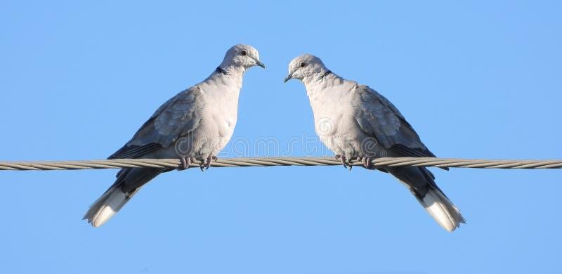 Europäische Turteltaube zwei lizenzfreie stockfotografie