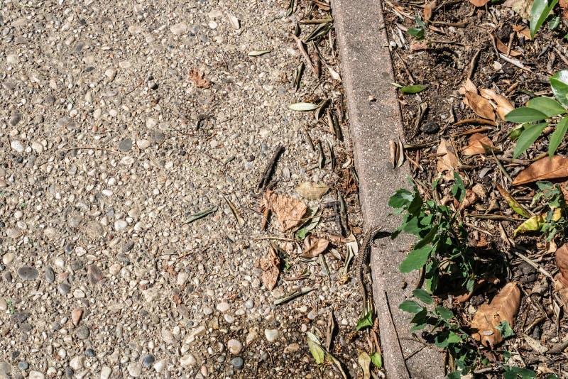 Europäische Wandeidechsennachahmen Podarcis-muralis auf dem Boden, gemeine Eidechse, welche die Kamera - Bild betrachtet lizenzfreie stockfotos