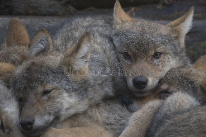 Europäische Welpen des grauen Wolfs, die zusammen, Canis Lupus Lupus streicheln stockfotos
