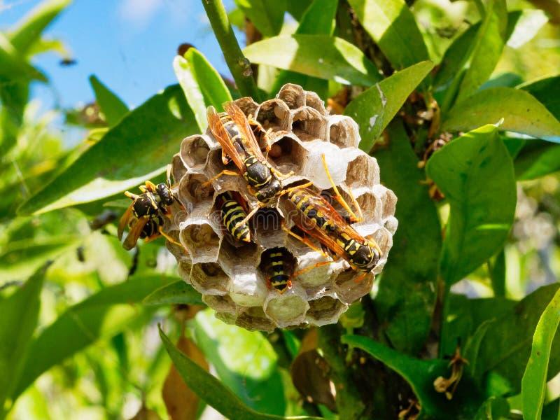 Europäische Wespen, die Larven im multi Zellnest einziehen stockbild