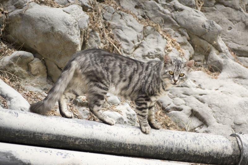 Europäische Wildkatze mit silbernem Marmorpelz, schöne Katze auf felsigen Steinen in Samaria-Schlucht, Kreta-Insel stockbilder