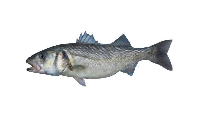 Europäische Wolfsbarschfische lokalisiert auf weißem Hintergrund lizenzfreie stockfotos