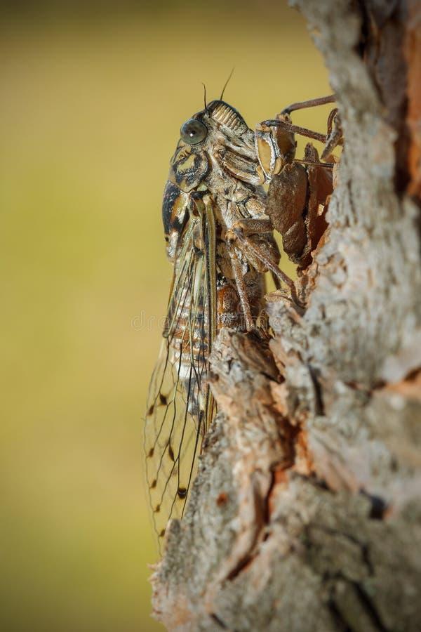 Europäische Zikade lizenzfreie stockbilder
