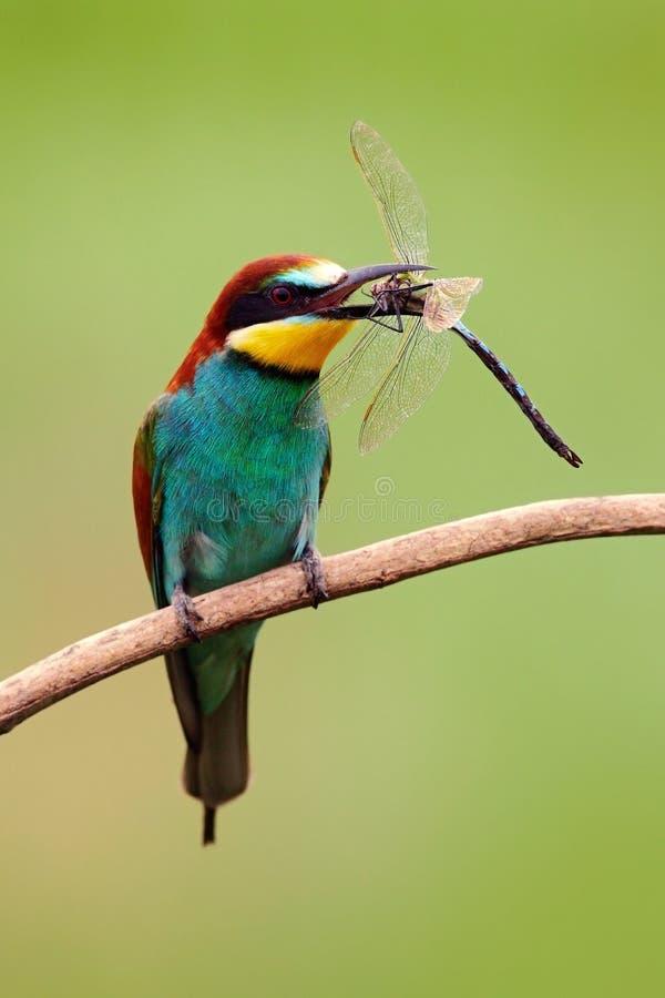 Europäischer Bienenfresser, Merops apiaster, schöner Vogel, der auf der Niederlassung mit Libelle in der Rechnung, Actionszene in lizenzfreie stockfotografie