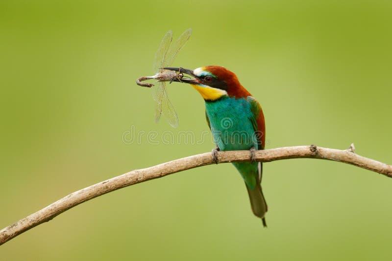 Europäischer Bienenfresser, Merops apiaster, schöner Vogel, der auf der Niederlassung mit Libelle in der Rechnung, Actionszene in stockfotografie