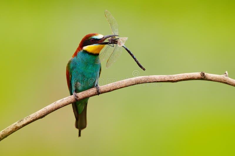 Europäischer Bienenfresser, Merops apiaster, schöner Vogel, der auf der Niederlassung mit Libelle in der Rechnung, Actionszene in lizenzfreies stockbild