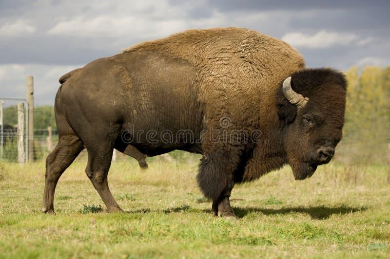 Europäischer Bison lizenzfreie stockfotos