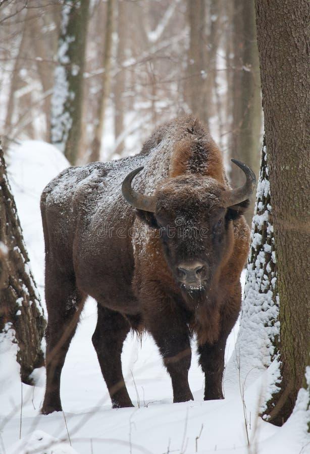 Europäischer Bisonstier im Winter lizenzfreies stockfoto