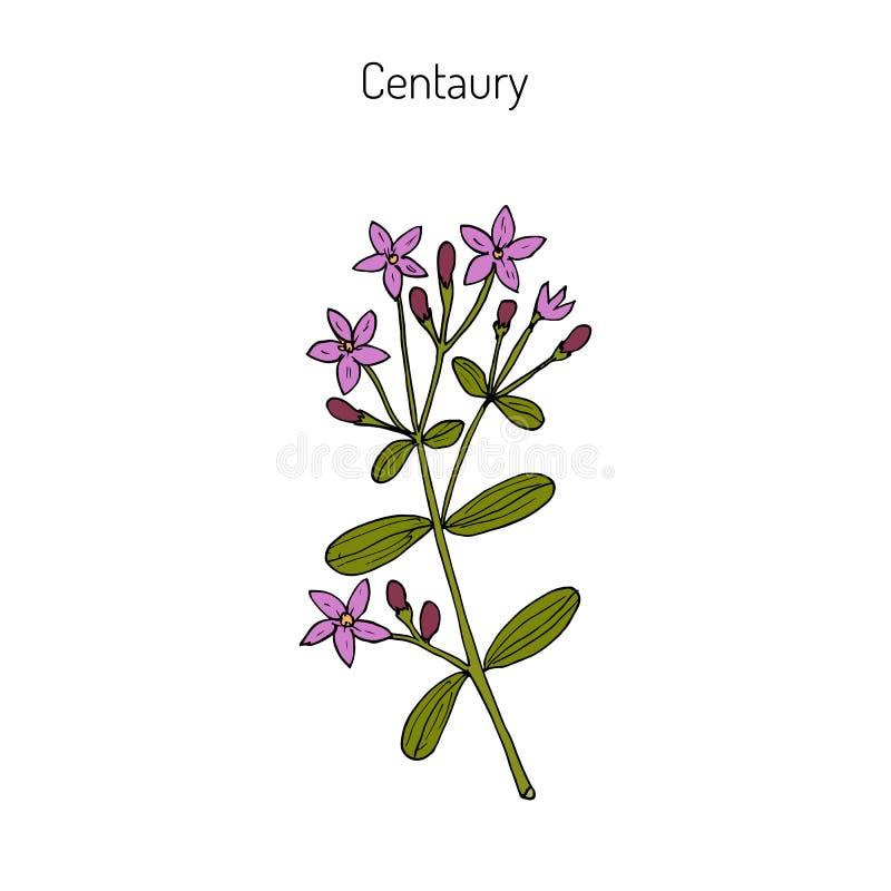 Europäischer Centaury, medizinisches Kraut lizenzfreie abbildung