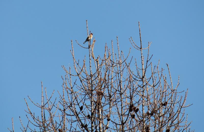 Europäischer Dompfaff oder Carduelis Carduelis, der auf Lärchenbaum mit bloßen Niederlassungen gegen Hintergrund des blauen Himme stockfotos