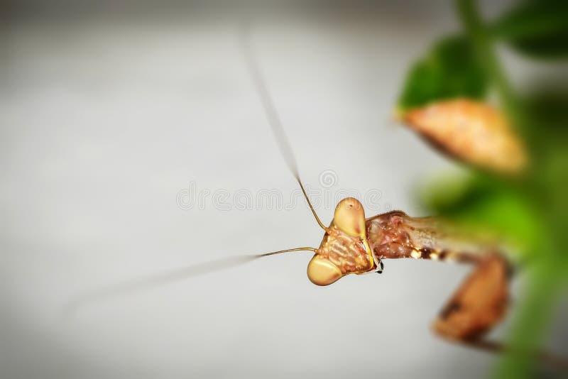 Europäischer Mantis lizenzfreie stockfotografie