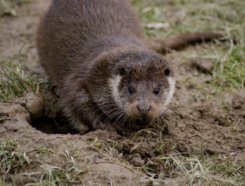Europäischer Otter stockbild