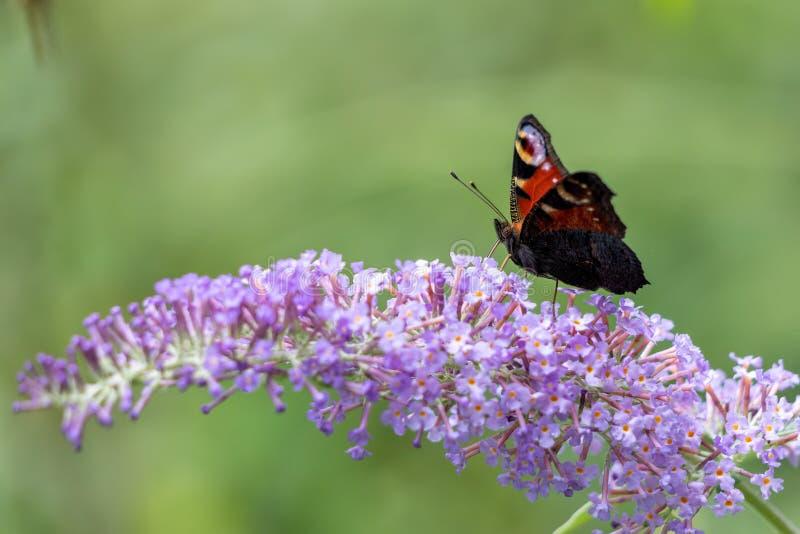 Europäischer Pfau-Schmetterling Inachis io, der auf Buddleia-Blüte einzieht stockbild