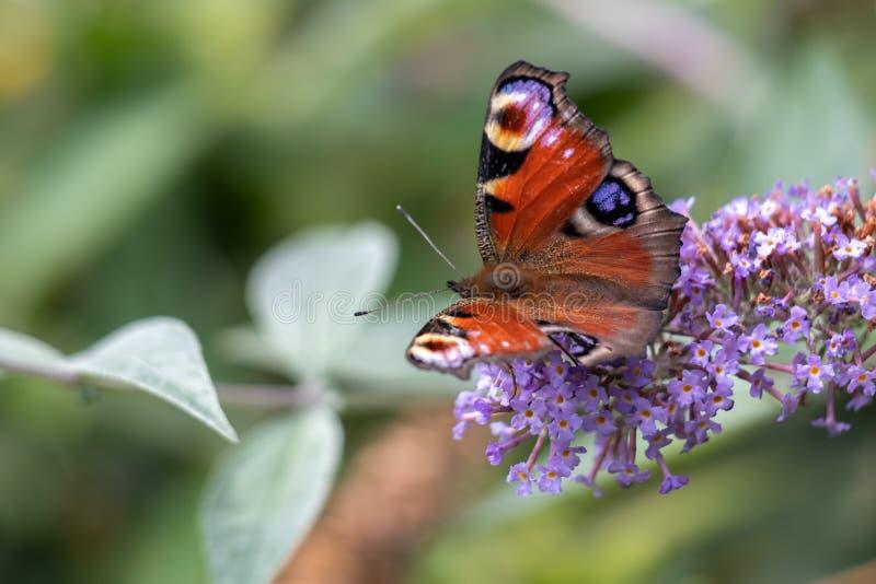 Europäischer Pfau-Schmetterling Inachis io, der auf Buddleia-Blüte einzieht lizenzfreie stockfotos
