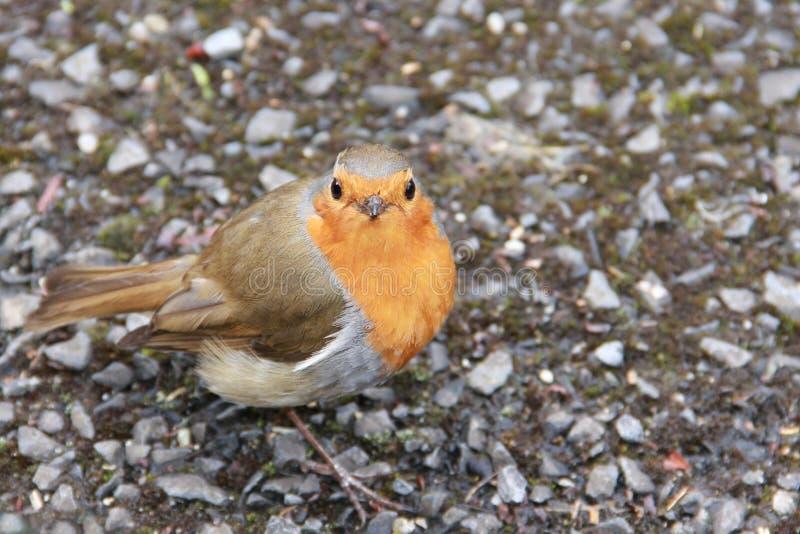 Europäischer Robin stockbild