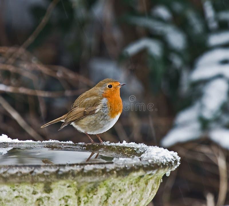 Europäischer Robin im Schnee lizenzfreie stockbilder