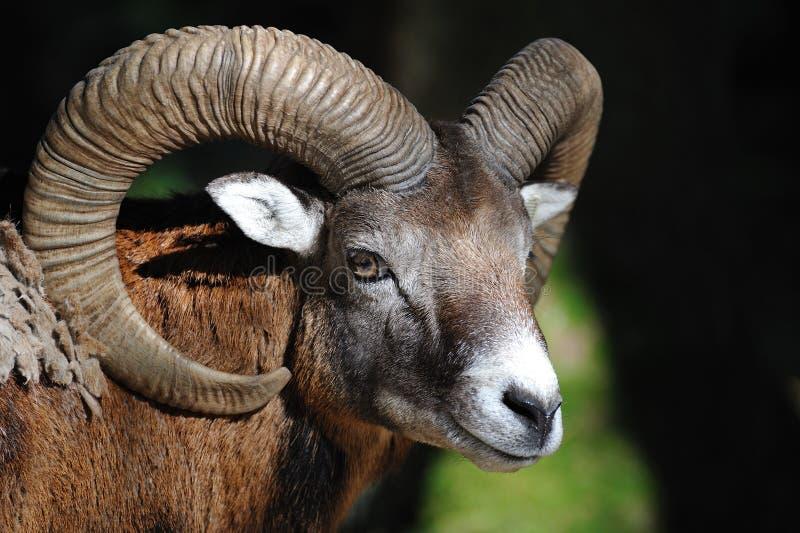 Europäisches mouflon (Ovis orientalis musimo) stockfotos