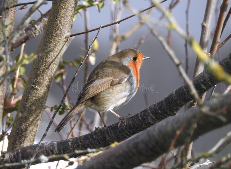 Europäisches Rotkehlchen Vogel/Erithacus rubecula in einem Baum lizenzfreie stockfotos