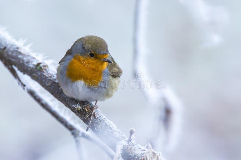 Europäisches Rotkehlchenvogel Erithacus rubecula im Winterschnee stockbild
