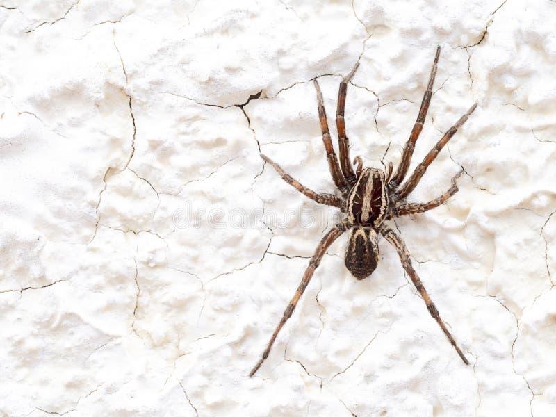 Europé Wolf Spider eller falsk tarantelHogna radiata Makro På den vita väggen arkivfoto