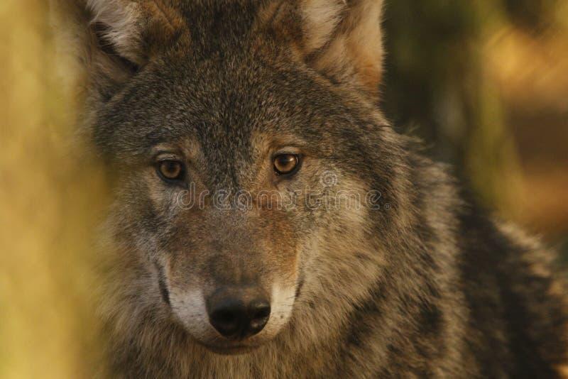 Européen, portraits de loup de bois de construction images stock