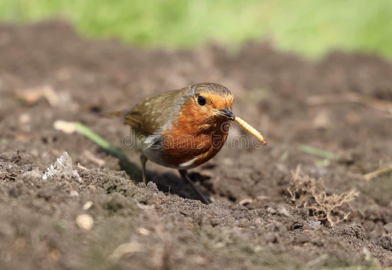 Europ?ischer Robin stockbilder