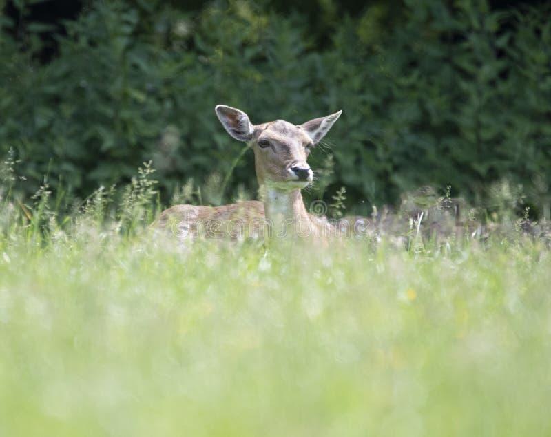 Europ?Roe Deer Capreolus capreolus royaltyfri bild