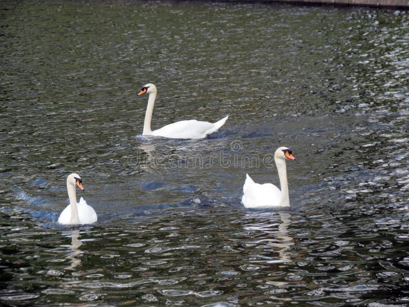 Europa, België die, West-Vlaanderen, Brugge, drie zwanen op het kanaal in de lente drijven stock afbeelding