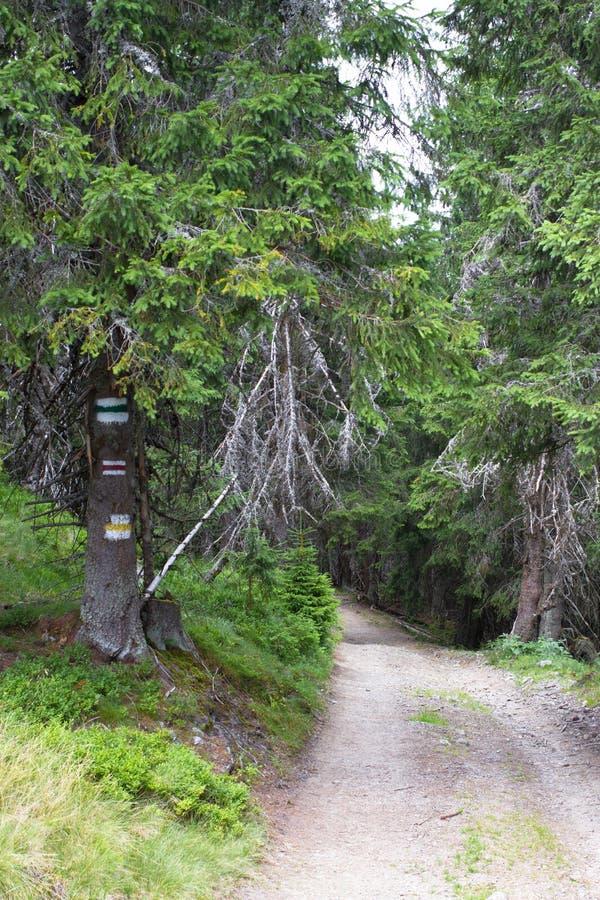Europa droga gruntowa w świerkowym lesie w Ukraińskich Carpathians Kolor oceny dla turystów Podtrzymywalny jasny ekosystem zdjęcia stock